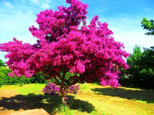 Bougainvillier - Blog de my-books-and-adventures
